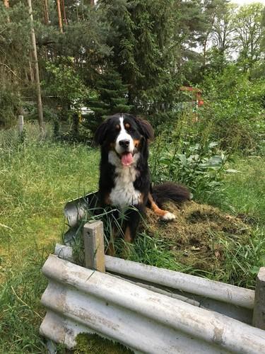 Hunde Hintergrund entitled cute Bernese mountain dog💖