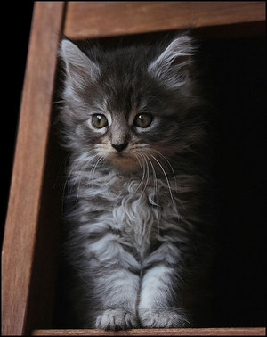 Adorable Gray Kitten