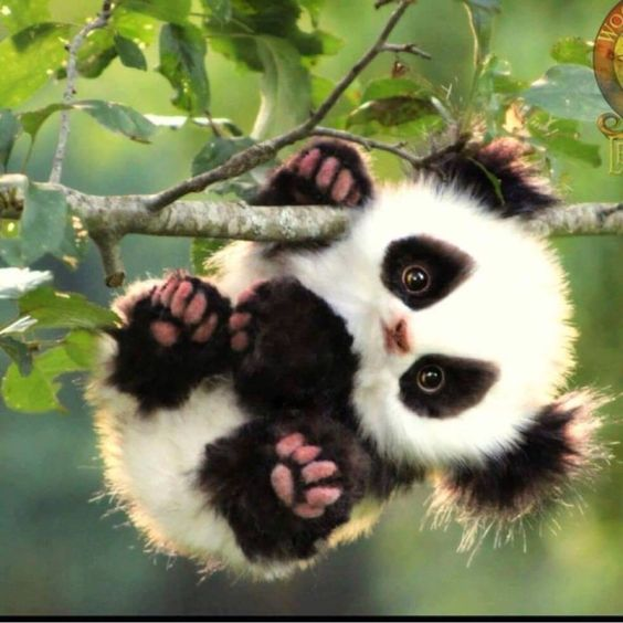 Baby Panda Laura1233214 Photo 42762366 Fanpop