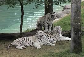 Beautiful White tigres
