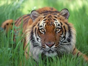 tigre del bengala, tigre di bengala