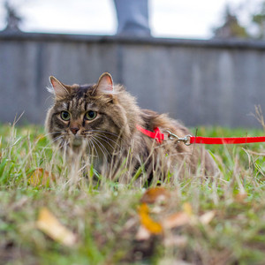 Cat On A Leash