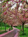 ceri, cherry pohon Pathway