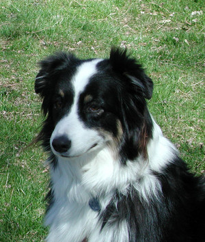 Cute Border collie
