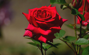 Fresh Red Roses!