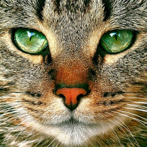 Green-Eyed Tabby