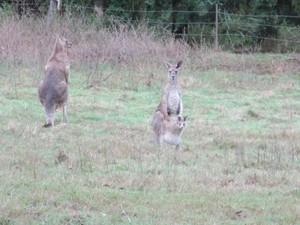känguru Family