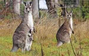 kangaroo, kangaruu