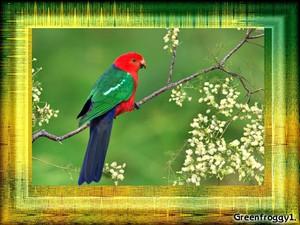 King parrot, kasuku