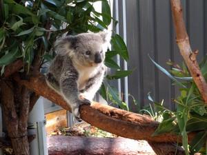 Koala walking