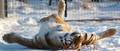 Lilly The Tiger - cherl12345-tamara photo