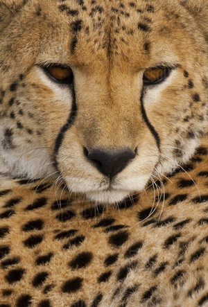 Majestic Cheetah