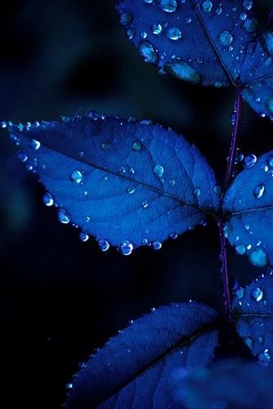 Midnight Blue Leaves