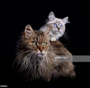 Siberian gatos