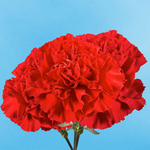 Single Red Carnation for IWD, Labour Day, or May dia