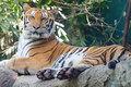 The Majestic Tiger - cherl12345-tamara photo