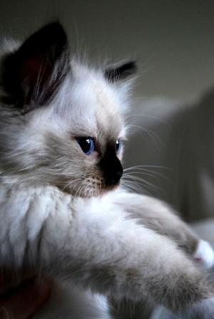beautiful kitten/ᐠ。ꞈ。ᐟ✿\