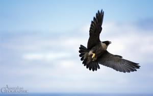 falke, falcon