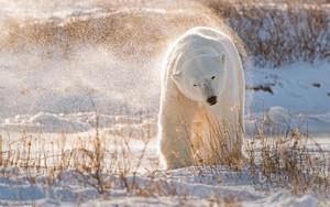polar برداشت, ریچھ