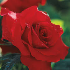 Beautiful rosas