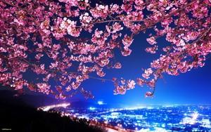 چیری, آلو بالو Blossoms ~