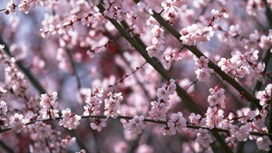 kers-, cherry Blossoms ~
