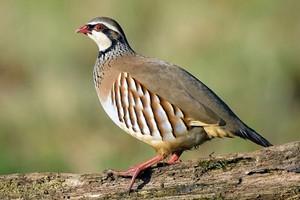 Chukar ayam hutan, partridge