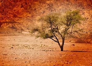 EGYPTIAN DESERT TREE