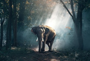 elefante in the Forest