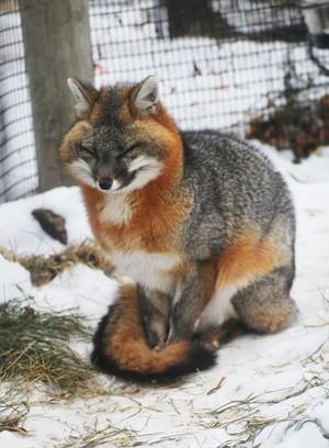 Grey cáo, fox