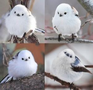 Korean Crow-tit