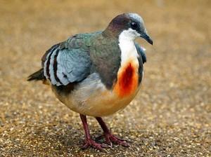 "Luzon ""Bleeding Heart"" Pigeon"