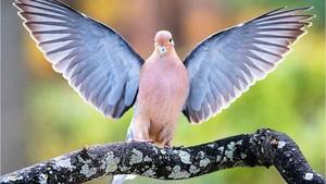 Morning duif