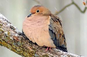 Morning کبوتر
