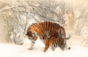 mga tigre in the Snow