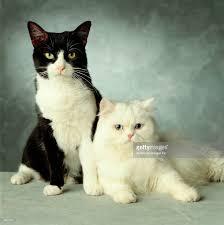 Tuxedo And Persian Kitties