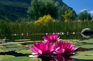 Beautiful Water Lilies