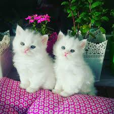 Beautiful White mèo con
