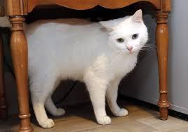 Beautiful White Kitty