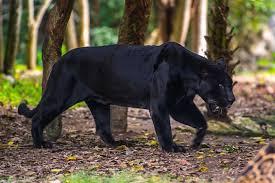 Black 豹, 黑豹