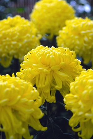 Chrysanthemum🌼