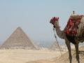 EGYPT CAMEL - egypt photo