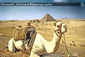 EGYPT camelo