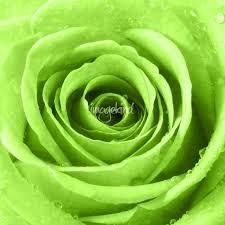 Light Green Rose