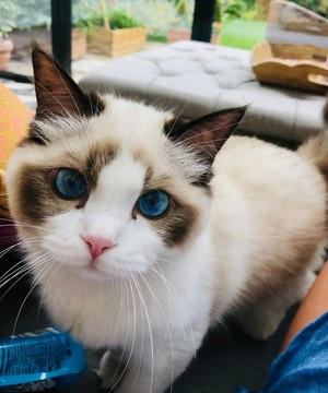OCEAN BLUE EYES CATS