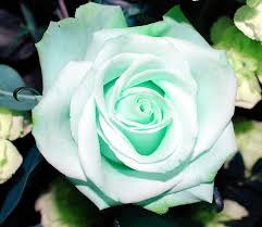 Pale Green Rose