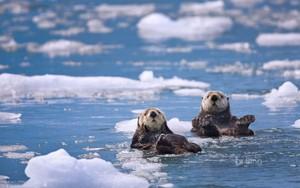 Sea Otters Prince William Sound