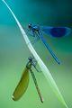 beautiful Dragonflies❤️🌸 - dragonflies-in-a-flowerfield photo