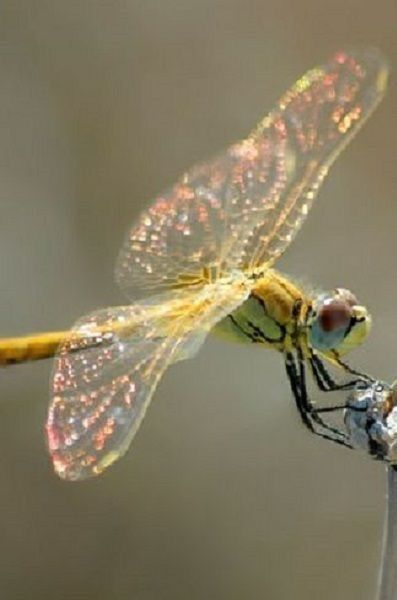beautiful Dragonfly❤️🌸