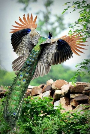 beautiful peacock❤️🌸